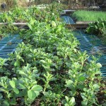 Field beans - a great green manure