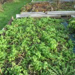 Green manure mix with Crimson Clover, Broad Leaf Red Clover and White Tilney Mustard
