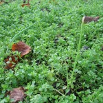 Chickweed, one of my most favourite herbs, a delicious addition to salads, full of minerals... I pick out larger weeds and let areas of chickweed develop